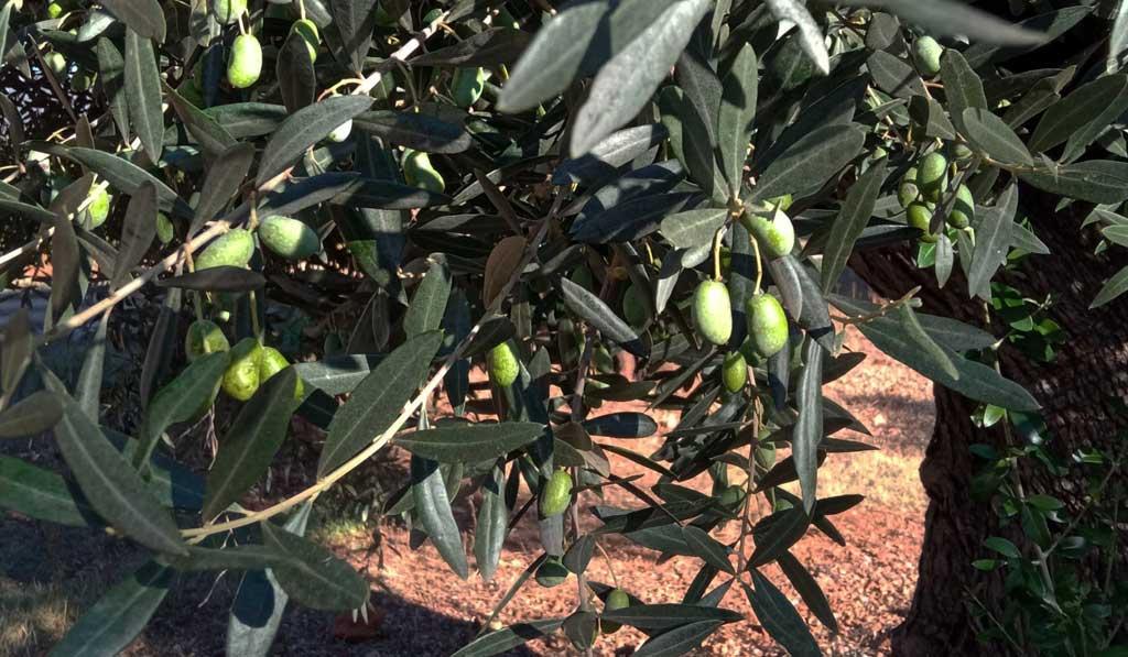 olivas maduras